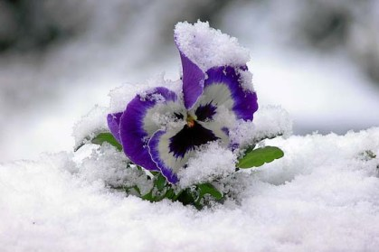 pansies-in-snow.jpg